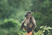 South Africa: Baboons & Monkeys