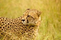 South Africa: Cheetahs