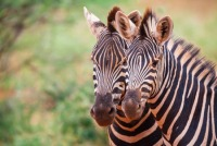 South Africa: Zebras